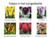 3-Tulpen in Tuingedeelte 2018